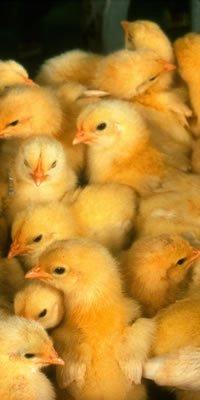 Srednji inkubatori